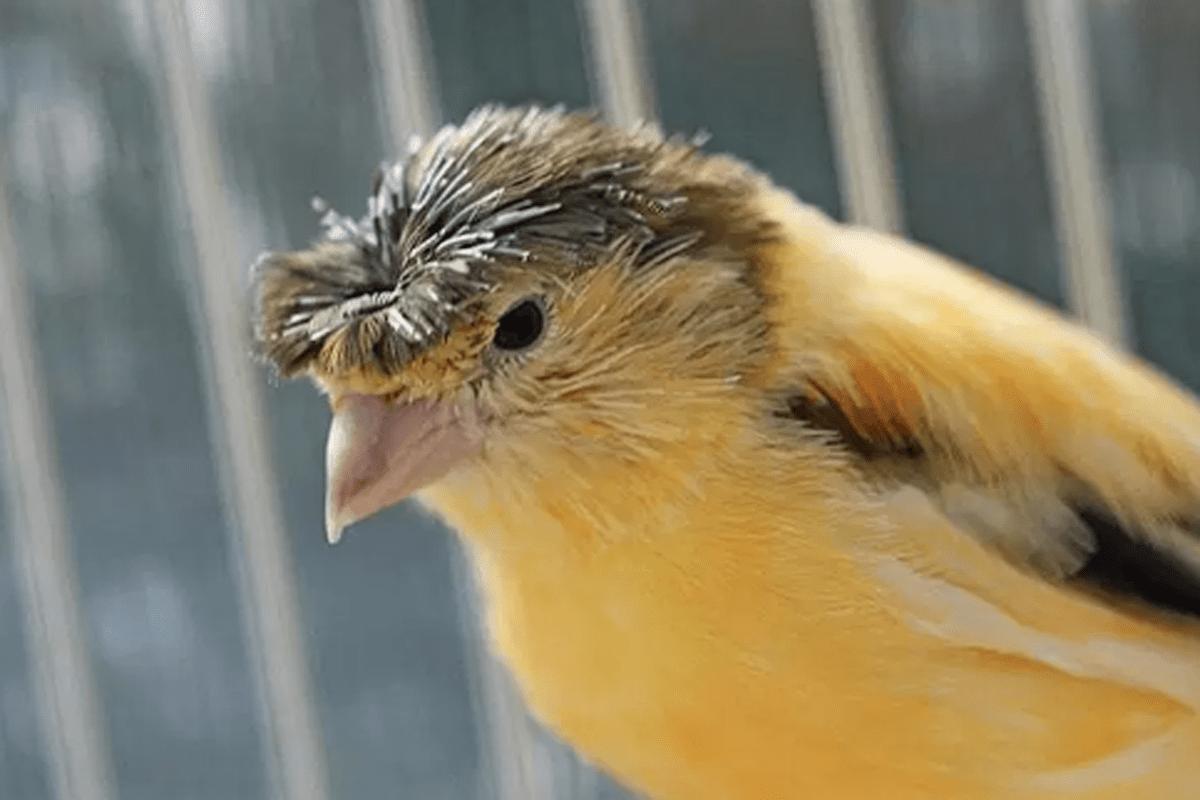 burung kenari jambul