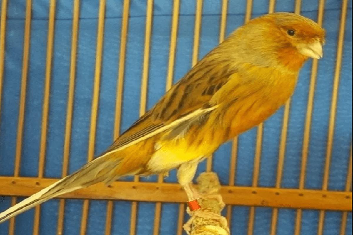 burung kenari termahal